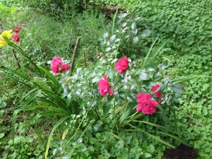 Marsh Roses in July